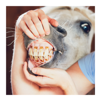 Equine Dental Equipment & Products